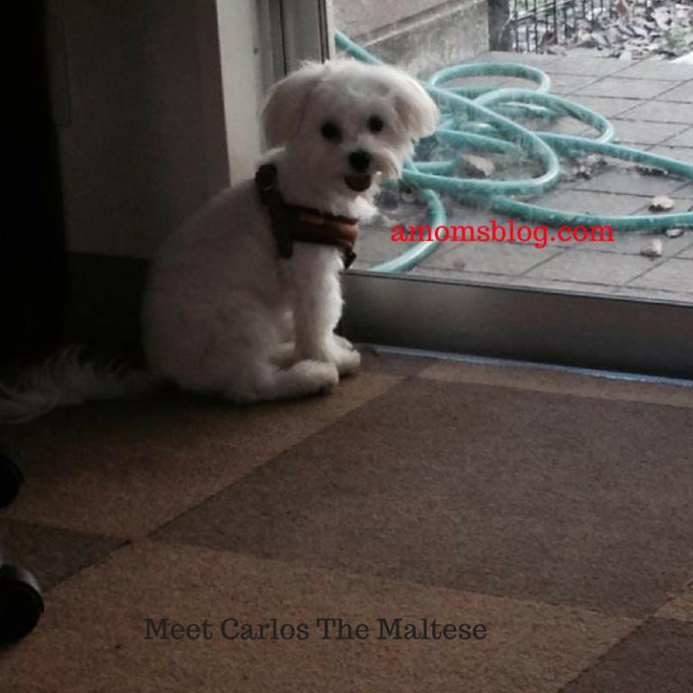 Meet Carlos The Maltese