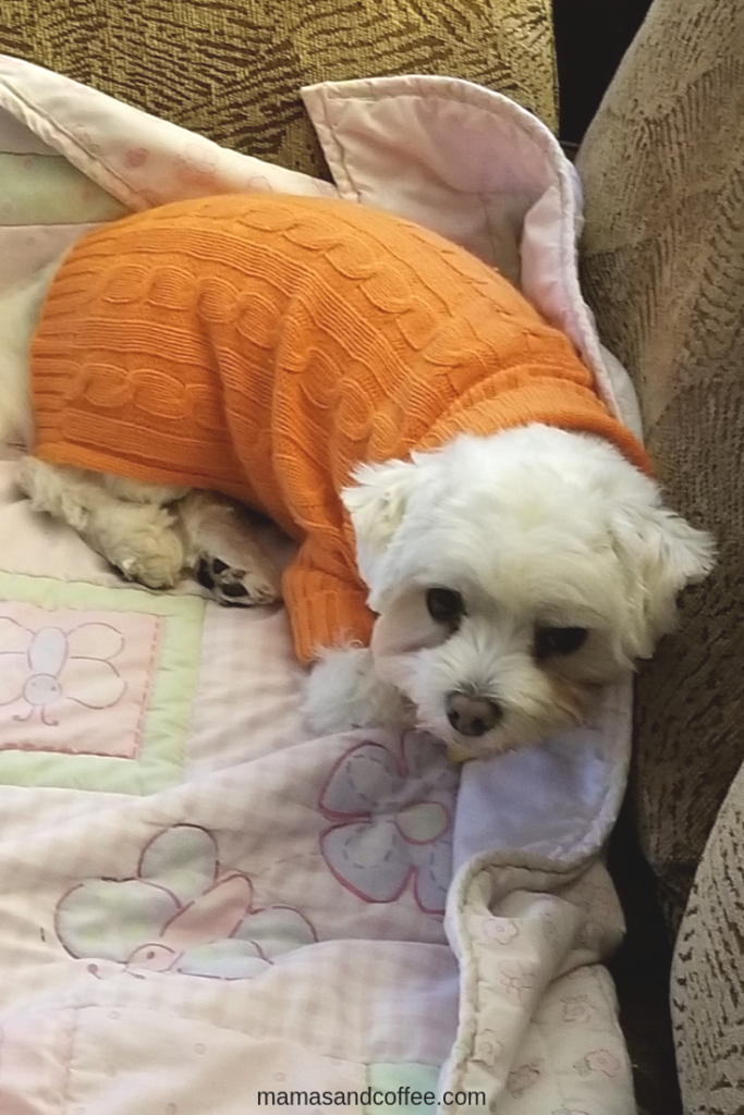 Carlos chilling in his orange cute dog sweater